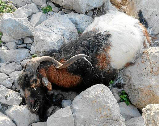 Temen que el Govern vuelva a actuar como lo hizo en 2016 para eliminar a los animales.