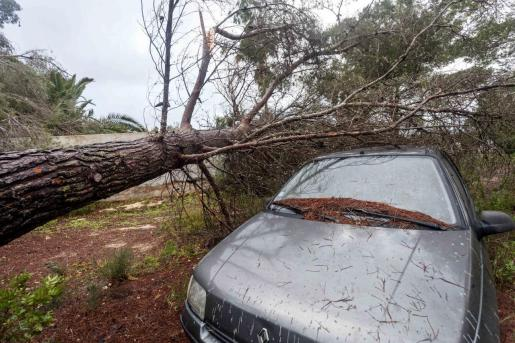 Un árbol tumbado por el viento en la carretera de Benirràs.