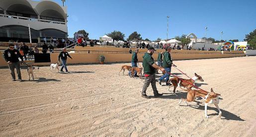 Espectacular afición. Los ibicencos demostraron su pasión por estos animales en el hipódromo de Sant Rafel. Los podencos respondieron de la mejor manera que saben: con una exhibición en toda regla.