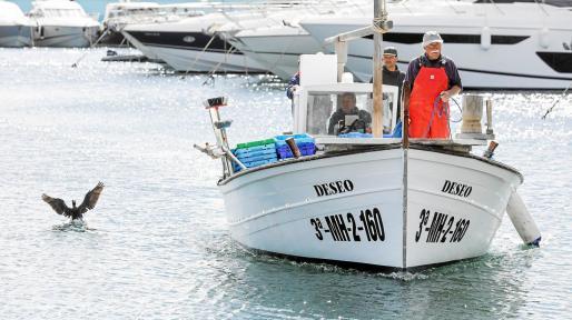 Un cormorán ameriza sobre el agua del Puerto de Santa Eulària ante la llegada del llaüt con el gerret para la VI edición de la Fira del Gerret.