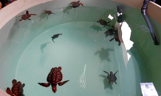 En muy buen estado. El verano pasado nacieron en el nido de Ibiza un total de 37 crías de las cuales 18 se encuentran bajo custodia y cuidados de la Fundació Oceanogràfic.