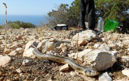 La falta de un protocolo y de estudios anteriores en la lucha contra las serpientes en las Pitiusas hace muy complicado su control.