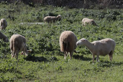 Una imagen de un rebaño de ovejas.