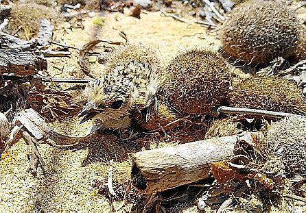 Los 'picaplatges' vuelven a nidificar en la playa de Es Cavallet .
