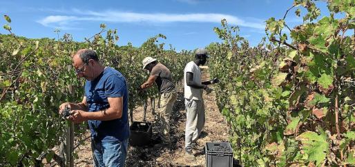 Recogida de uvas en uno de los viñedos.