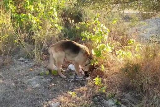 La Policía Local de Sant Josep localizó al pastor alemán velando al chihuahua fallecido.