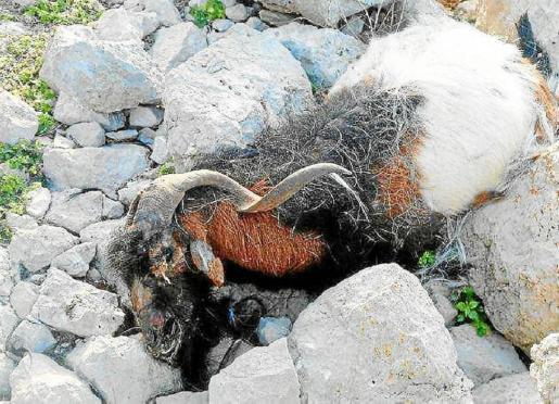 Una de las cabras que mató el Govern en Es Vedrà en 2016.