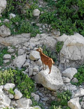 Imagen de archivo de una cabra en Es Vedrà.