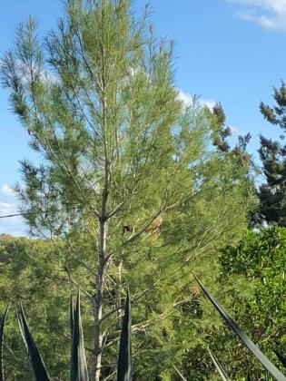 Un pino en Formentera.