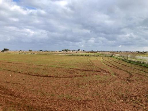 Un campo de cereal, ayer, en Formentera.
