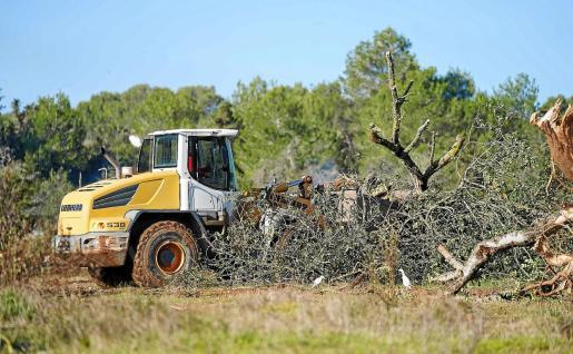 Los trabajos de desbrozamiento del terreno, en el que se han arrancado olivos y algarrobos, están generando polémica.