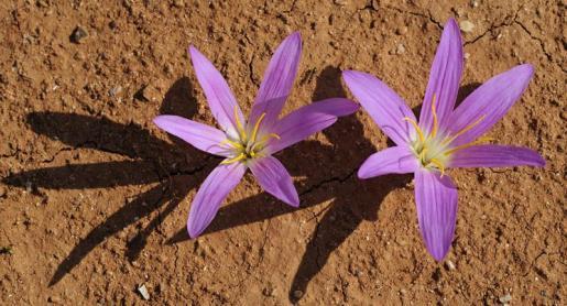 En la Isla es frecuente el Colchicum filiflolium, también conocido como 'safra bord'