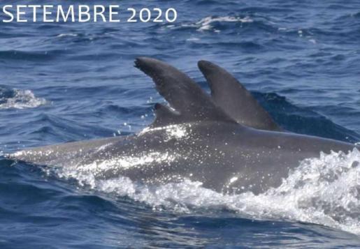 El delfín, cuya aleta dorsal está marcada, se encuentra de forma permanente en el litoral de Sant Josep desde hace 11 años como mínimo.