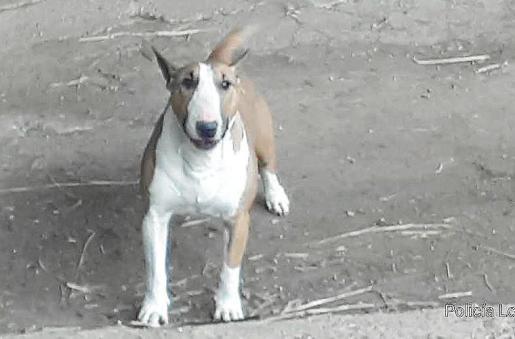 Imagen del ejemplar de Bull terrier interceptado por los agentes de medio ambiente de Sant Antoni.