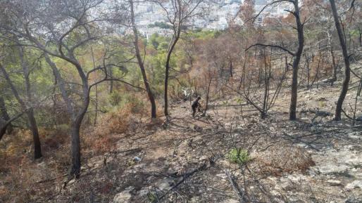 Tareas de limpieza forestal tras el incendio de sa Talaia.