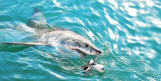La mitad de los tiburones que ha podido filmar la investigadora lleva anzuelos clavados debido a la pesca accidental.