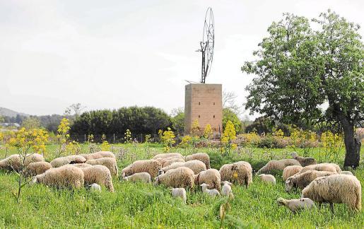 Parte de las ovejas supervivientes a los ataques sufridos por su rebaño, alguna de ellas con heridas en su lomo.