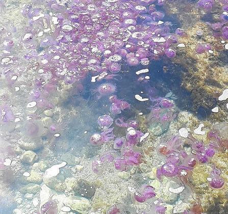 Una gran masa de medusas 'Pelagia' en la zona de Cala Rajada.