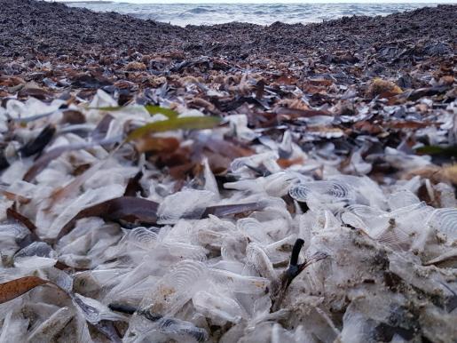 Las especies marinas 'Velella velella' en la playa de Santa Eulària.
