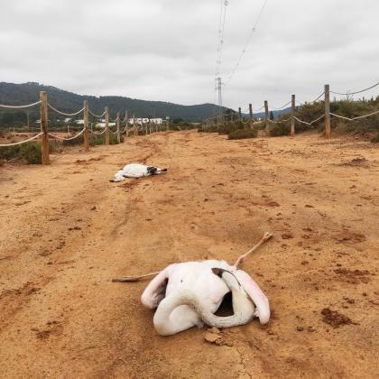 Dos flamencos hallados muertos en Ses Salines.