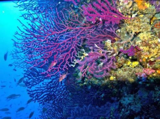 Arrecife De Coral. Especie Paramuricea Clavata Coralligeno.
