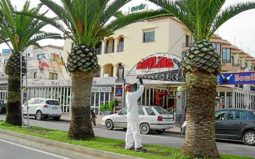 Un operario trata palmeras afectadas por el picudo rojo.