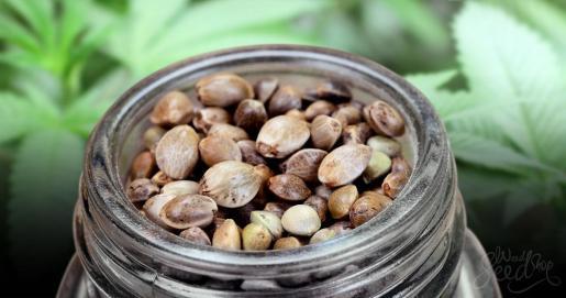¿Es legal comprar semillas de marihuana en España Linda-Seeds nos da todos los detalles.