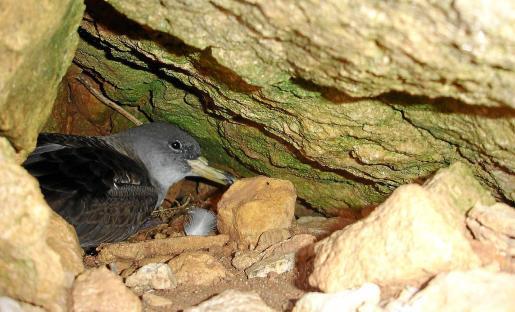 La prospección en esta zona del parque natural también ha confirmado la presencia de esta ave en el islote de es Vedrà.