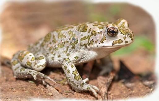 El 'calàpet' es un anfibio crepuscular de piel rugosa.