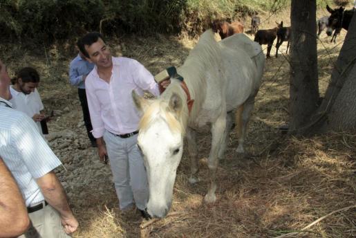El conseller Company cepilla a uno de los animales en el torrent de Sa Riera.