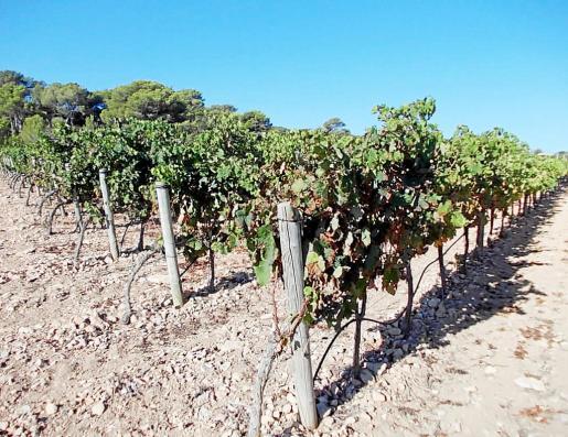 Unos viñedos de Formentera recién vendimiados.