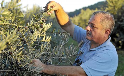 Mariano Tur, presidente de la agrupación en defensa del olivar, comprueba uno de los ejemplares en su finca en una imagen de archivo.
