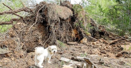 El tornado arrancó de raíz decenas de pinos.