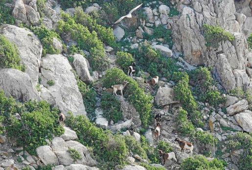 Las cabras fueron reintroducidas en es Vedrà en 1992 por los propietarios del islote tras veinte años sin la presencia de estos animales.