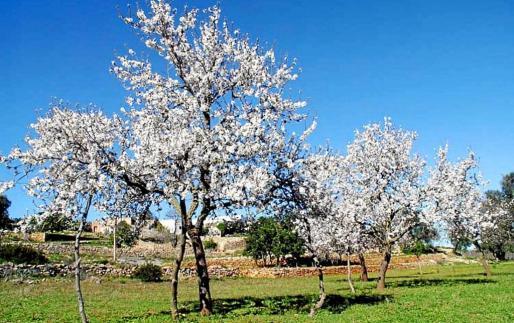Los almendros en flor del Pla de Corona son un reclamo para visitar Eivissa en el mes de febrero.