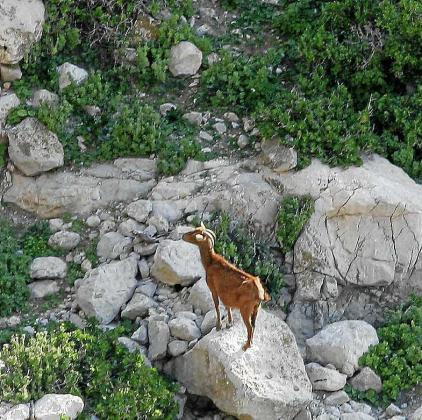 Imagen de una cabra en es Vedrà.
