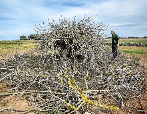 El objetivo es recuperar estos árboles tradicionales. Foto: M.V.