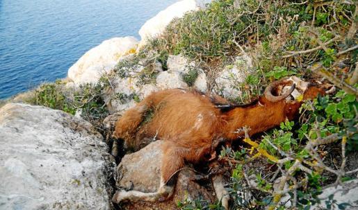 El colectivo de veterinarios denuncia que las cabras de es Vedrà fueron sometidas a un «gran estrés, sufrimiento y una larga agonía» antes de morir.
