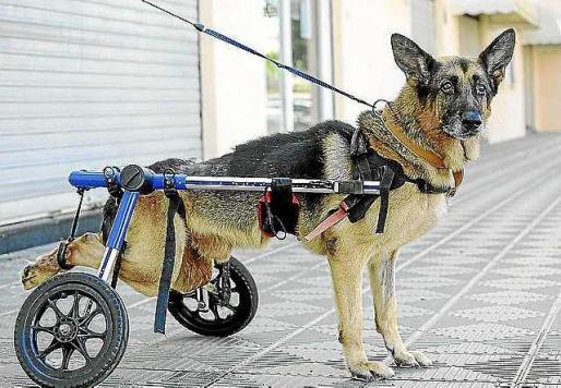 Coco, con la silla de ruedas en sus patas traseras.