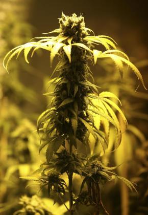 Cogollo de marihuana producido de forma legal en Uruguay.