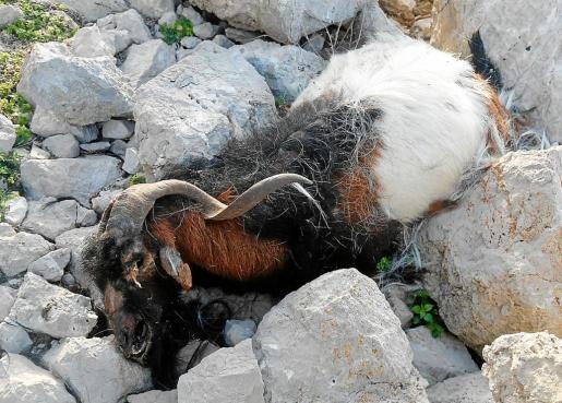 Ejemplar de cabra tiroteado por los técnicos del Cofib en el islote de es Vedrà.