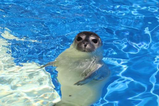 Fotografía de archivo de una de las focas vitulinas de Marineland.