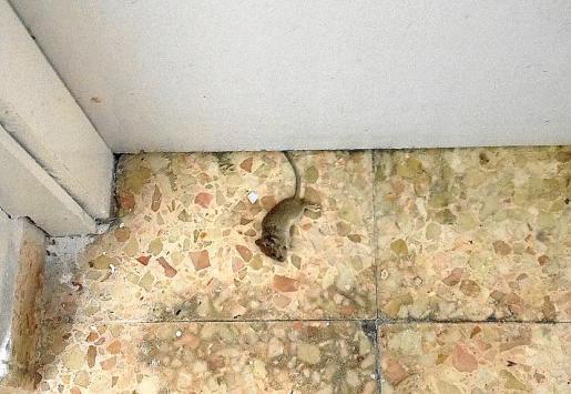 Imagen del roedor muerto que se encontró la profesora.