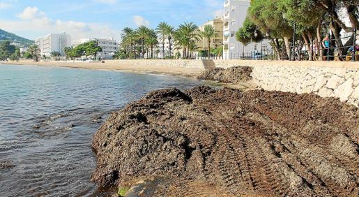 Imagen de posidonia amontonada en la playa principal de Santa Eulària.