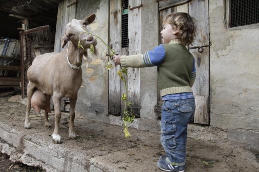 El pequeño Lucas, de dos años, da de comer a una cabra. Él sabe que tiene que apartar la mano cuando el animal coja la hierba.