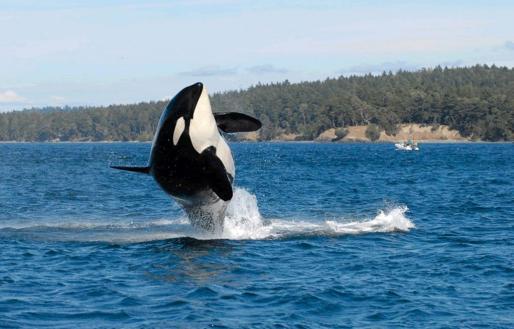 En la imagen, la orca más antigua del mundo, de nombre 'Granny', en el Estrecho de Georgia, en 2010.