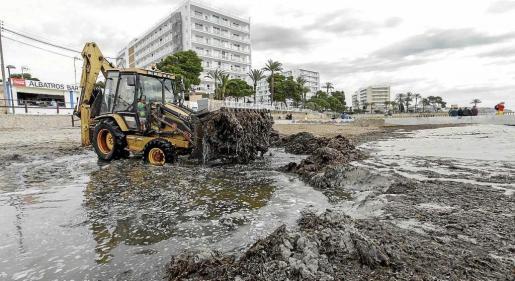 El año pasado, las máquinas del servicio de limpieza retiraron la posidonia acumulada durante el invierno en las playas de Vila en el mes de mayo pero este año empezarán a hacerlo antes de Semana Santa.