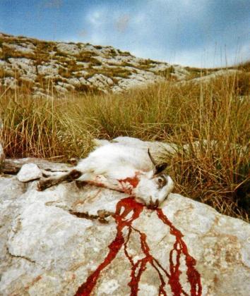 Imagen de una de las cabras salvajes abatidas en la finca pública de Galatzó.