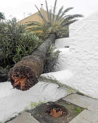 El viento arrancó de raíz una palmera en el núcleo urbano de Sant Jordi que cayó sobre una vivienda .