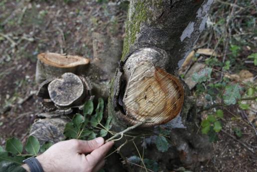 Árbol afectado por la xylella.